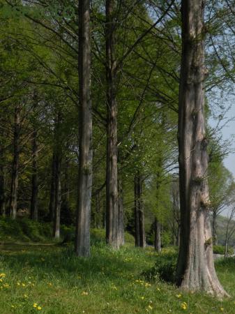 写真:メタセコイアの画像