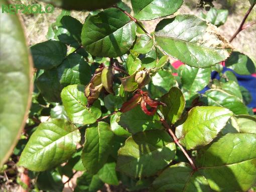 写真:冷害で枯れたヤング・リシダス(Young Lycidas)の新芽