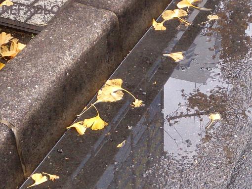 雨水に落ちたイチョウの葉