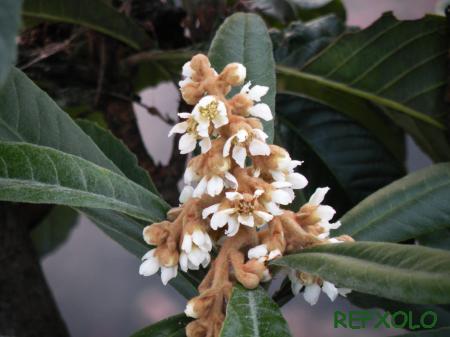 写真:びわの花の画像