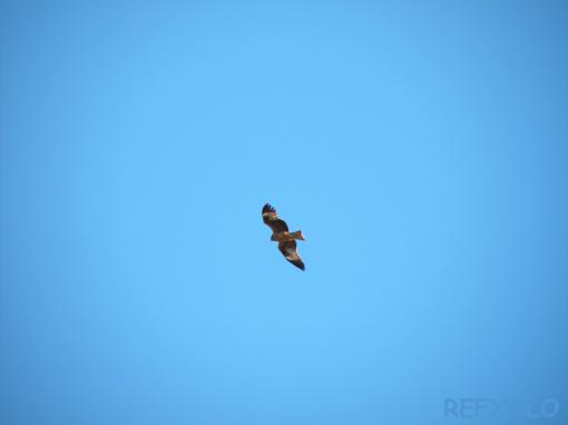 写真:青空に鳶舞うの画像