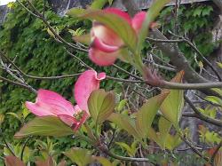 やっと咲き始めた紅いハナミズキ
