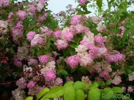 写真:ピンクの花(シモツケ)の画像