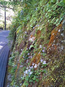 明月院に続く斜面に咲くすみれ
