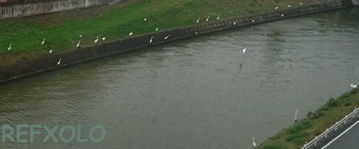 川岸に白鷺いっぱい