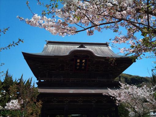 写真:桜と建長寺山門