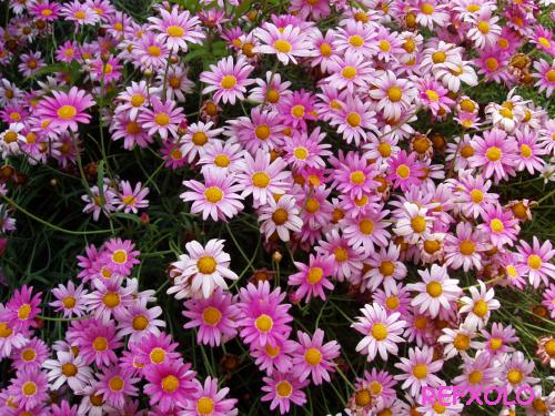 写真:ピンク色のマーガレットの花の画像