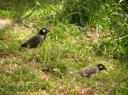 写真:草むらを歩く2羽のムクドリの画像