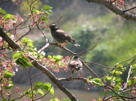 写真:桜の木にとまる2羽のムクドリの画像