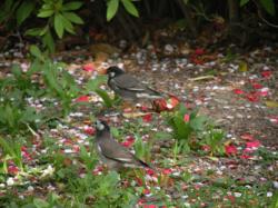 写真:落花した椿と桜の花びらの上を歩く2羽の椋鳥の画像