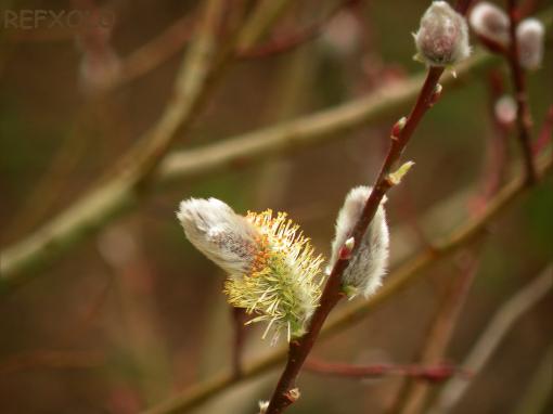 猫柳(ネコヤナギ)の花