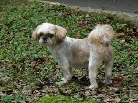 写真:シーズー犬ナナの画像2