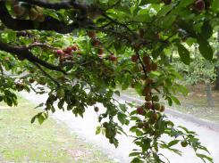 写真:プラム(すもも)の生っている木の画像