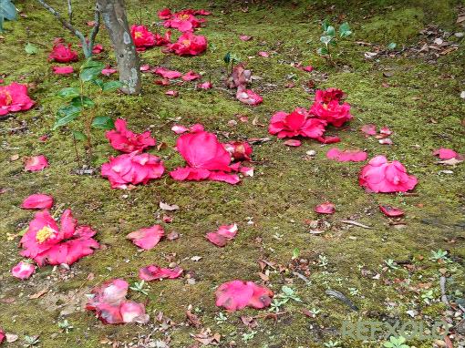 落下した椿花