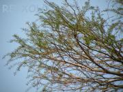写真:ラクウショウの新芽の画像