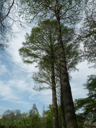 写真:落羽松(ラクウショウ)の画像