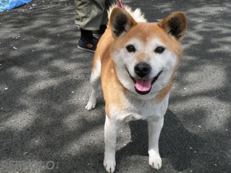 写真:柴犬のランの画像