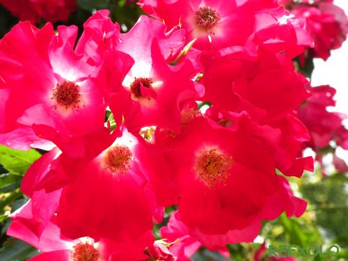 写真:太陽光を受け燃え立つ赤のバラの画像