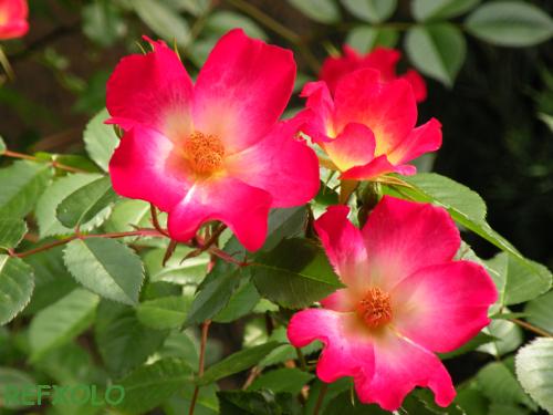 写真:一重の赤いばらの花の画像