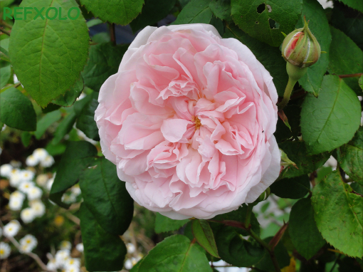 rose eglantyne 2010