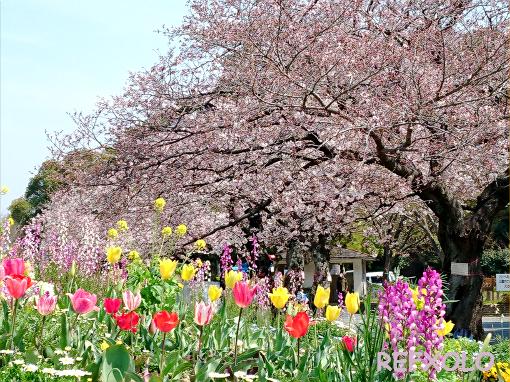 佐鳴湖公園の桜