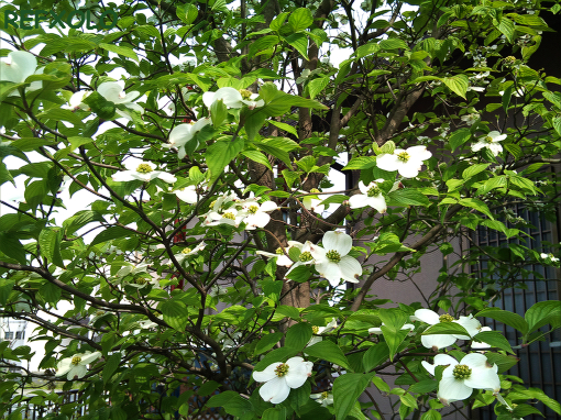白いハナミズキの花