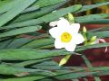 写真:水仙の花の画像