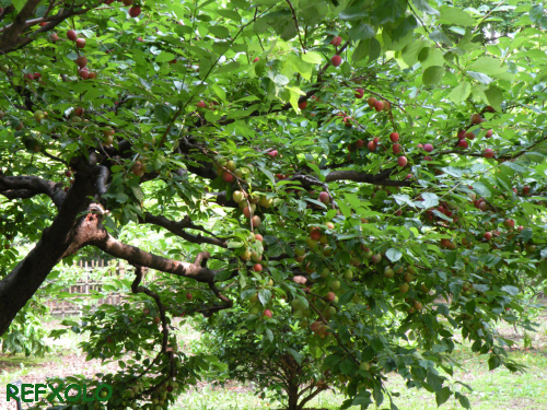 写真:すもも(Plum)がいっぱい生っている木の画像