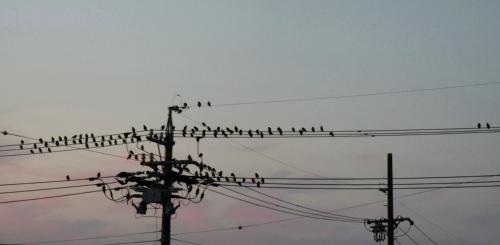 写真:雀が電線にいっぱいの画像