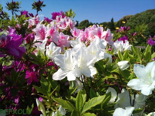 色とりどりのツツジの花