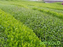 写真:茶畑の画像
