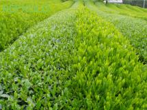 写真:茶畑の画像2