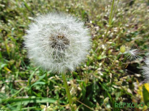 写真:タンポポの綿毛が飛んだの画像