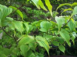 葉が繁ったヤマボウシ
