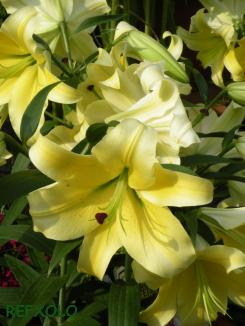 写真:黄色の大きな百合の花の画像