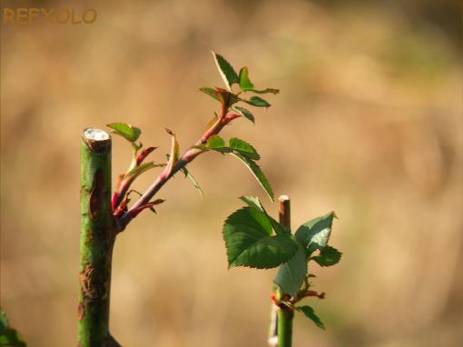 ヤング・リシダス(Young Lycidas)の芽20100210
