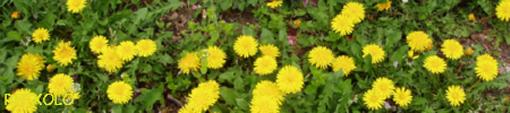 街道の道端に咲くたんぽぽの花