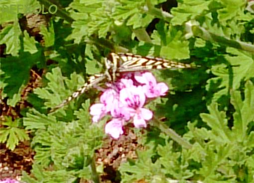 ローズゼラニウムの花にとまったアゲハチョウ