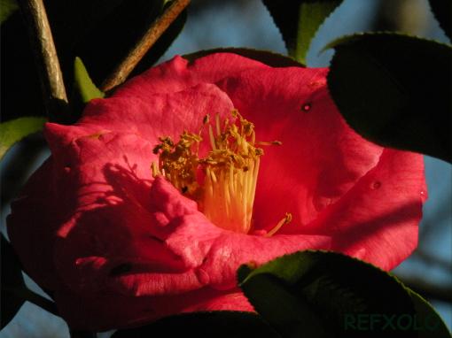 赤い椿の花