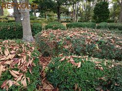 木に積もった大きな落ち葉