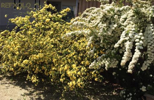 黄色のモッコウバラと白いコデマリ