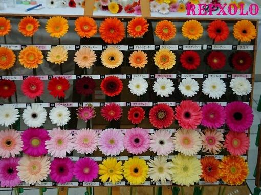 ガーベラの花 標本