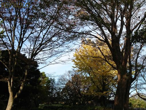 初冬の朝の公園。中央は銀杏の木