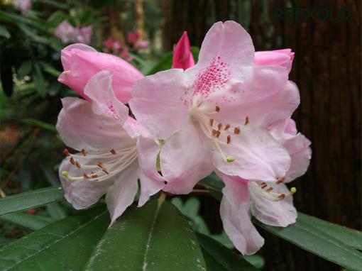うす桃色の石楠花の花
